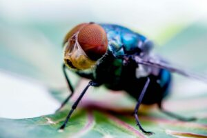 black and brown house fly